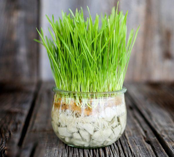 سبزه گندم روی تنگ ماهی روش درست کردن سبزه عید در تنگ شیشه ای