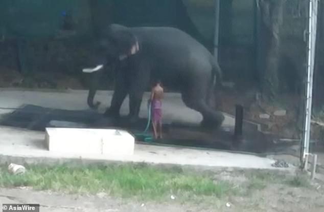 فیل لیز خورد و روی نگهبانش افتاد و له اش کرد +عکس