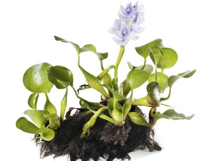 گیاه سرطانزا که بازار خرید آن در نوروز داغ است+تصاویر