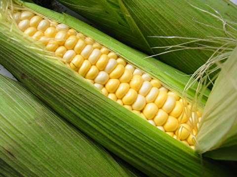 حرفهای ترین روش جداسازی دانههای ذرت