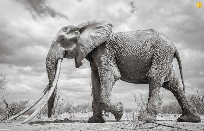 این فیل بلندترین عاج را در جهان دارد +تصاویر