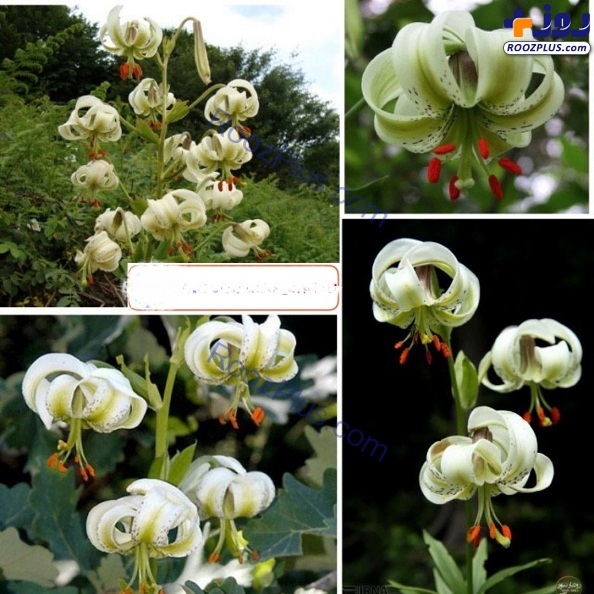 نادرترین گل جهان در ایران +عکس