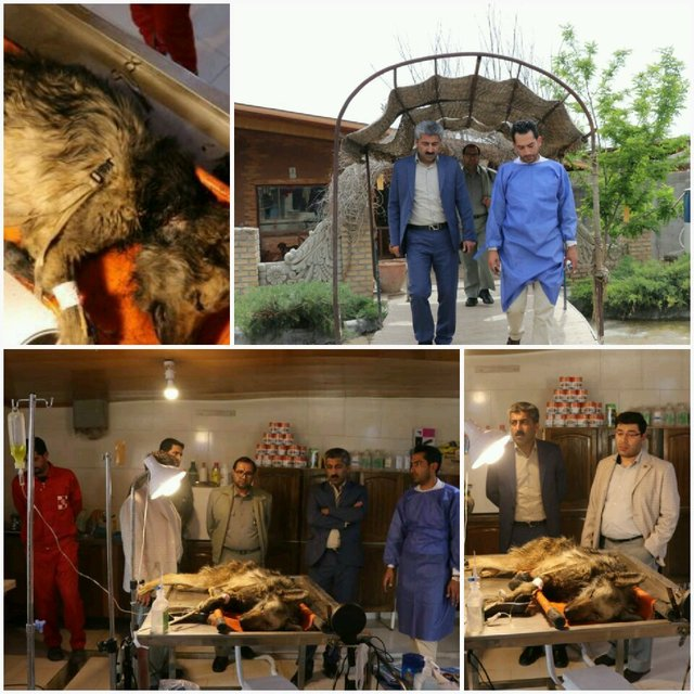 تیمار یک گرگ زخمی در البرز +عکس