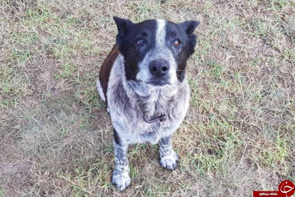 سگ ناشنوا، جان دختر گمشده را نجات داد