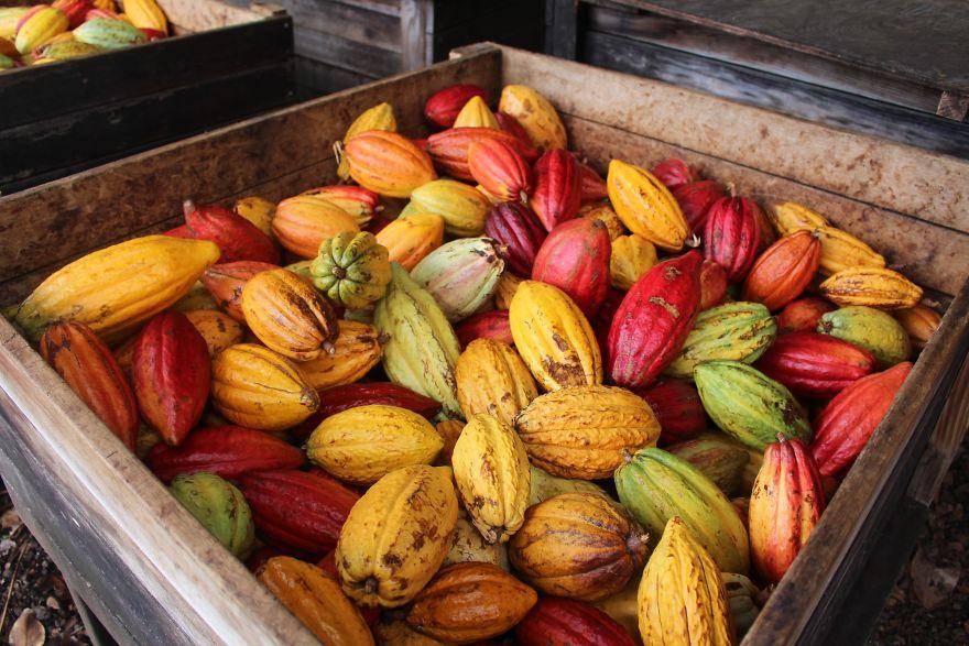 سفر شگفت انگیز کاکائو برای تبدیل شدن به شکلات