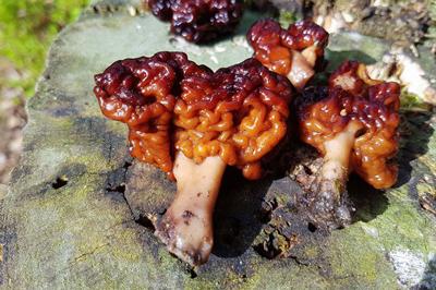 پیشگیری و مقابله با مسمومیت های قارچی