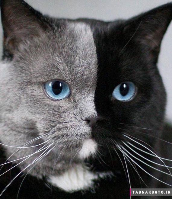 نارینا دی لاگریس گربه دو رنگ شگفت انگیز؛ ستاره فضای مجازی
