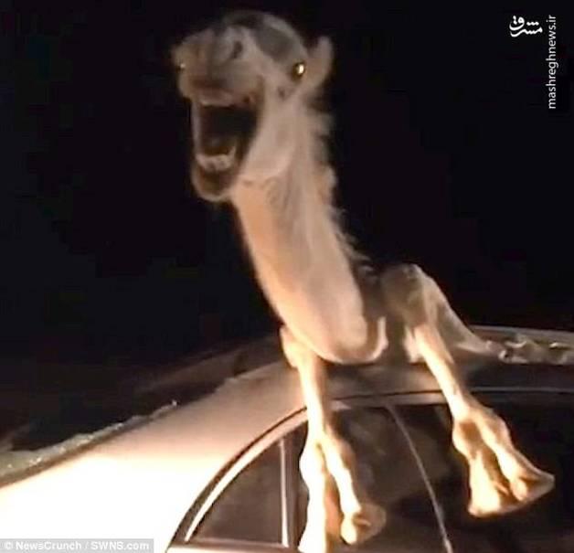 تصادف عجیب شتر با خودرو +عکس