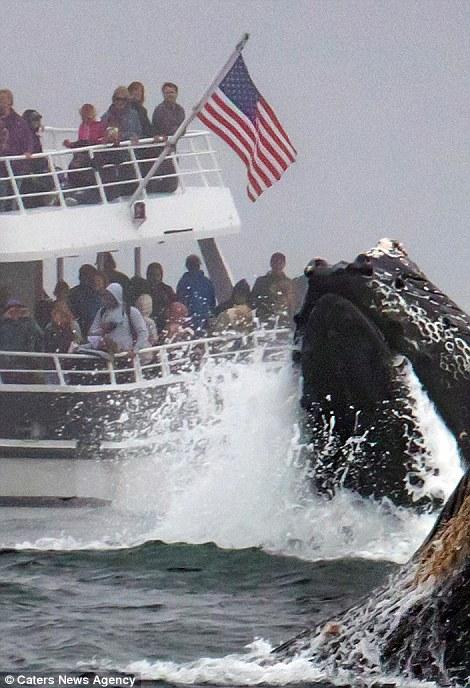 منظره ی اعجاب انگیز نهنگ در کنار کشتی توریستی