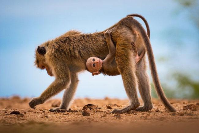 عکس نشنال جئوگرافیک؛ بچه میمون سریلانکایی