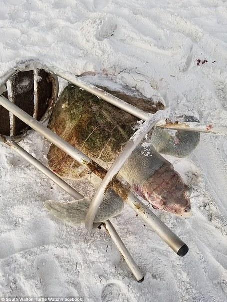 کشف لاشه لاک پشت دریایی نادر درون صندلی بار +تصاویر