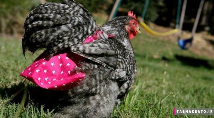 پوشک مرغ؛ تجارتی پرسود در آمریکا