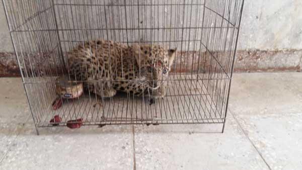 کشف توله پلنگ یک ماهه از خانه شکارچی غیرمجاز +عکس