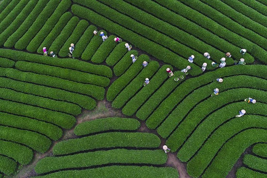 عکس روز نشنال جئوگرافیک: برداشت چای+عکس