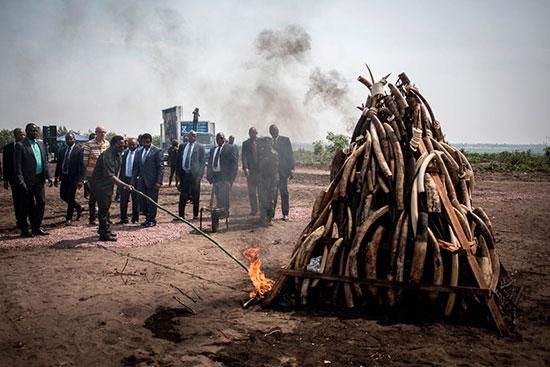 اقدام یک رئیسجمهور برای مبازره با قاچاق عاج فیل+عکس