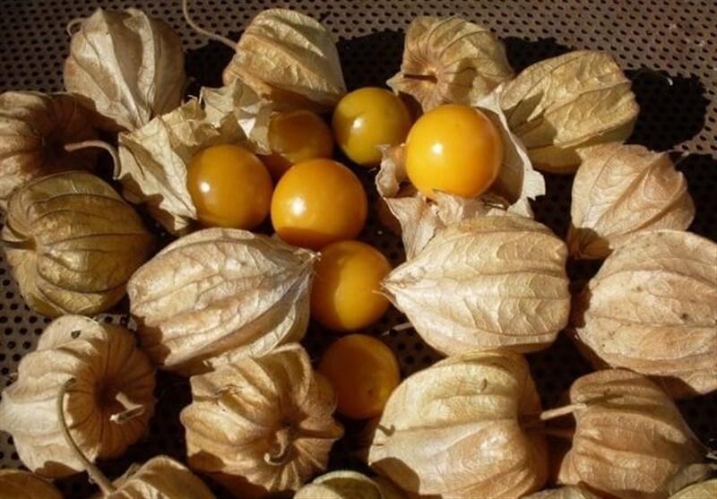 گیلاس زمینی درآستانه ورود به بازار میوه +تصاویر