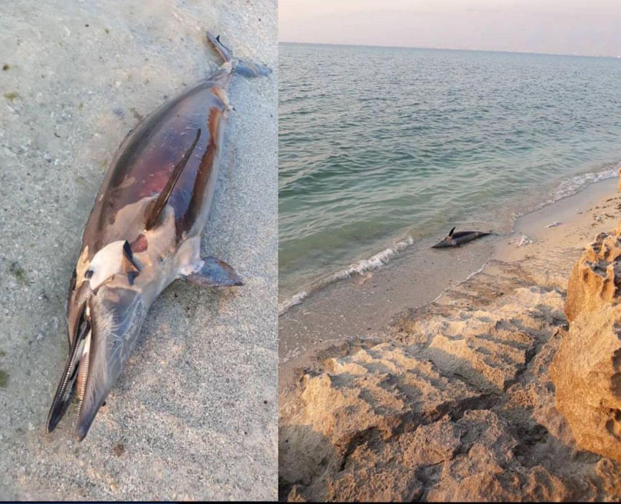 مرگ یک دلفین در ساحل عسلویه + عکس