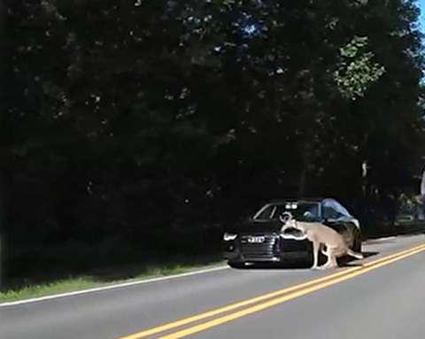 برخورد ناگهانی آهو با خودرو