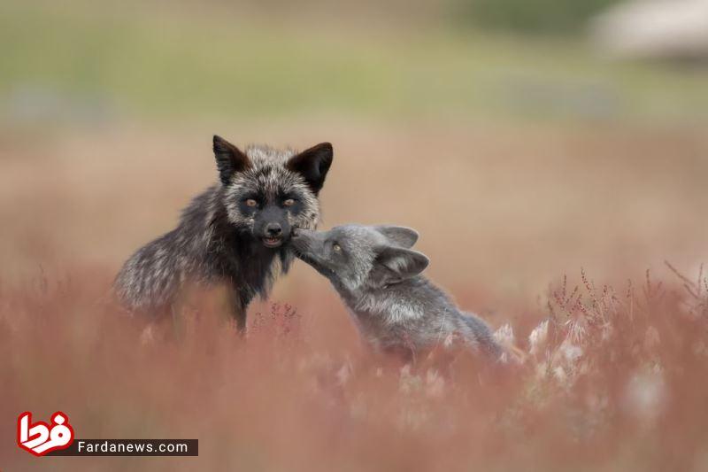 بوسه دیدنی یک روباه +عکس