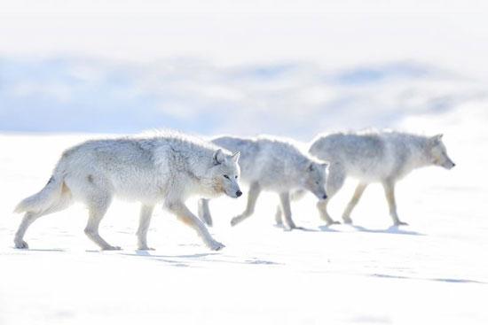 گرگهای سفید در عکس روز نشنال جئوگرافیک+عکس