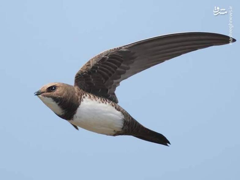 پرنده «ابابیل» را تابهحال دیدهاید؟ +عکس