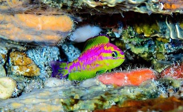 کشف گونه جدید ماهی با رنگهای نئونی +عکس