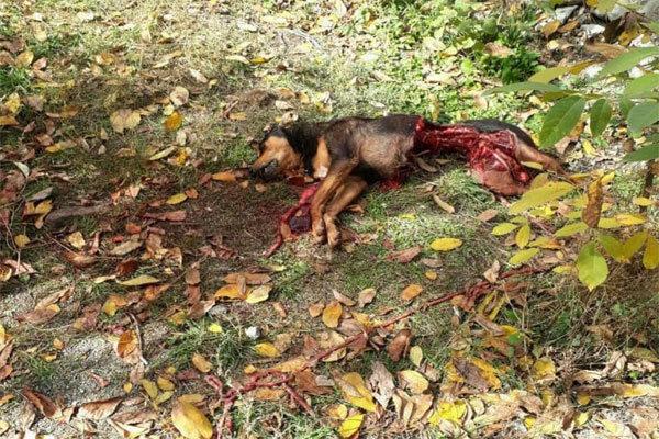 خرس، سگ نگهبان خانه را در روستای شمیرانات کشت +عکس