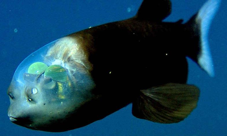 ماهی کله شیشهای از عجایب اقیانوس +تصاویر