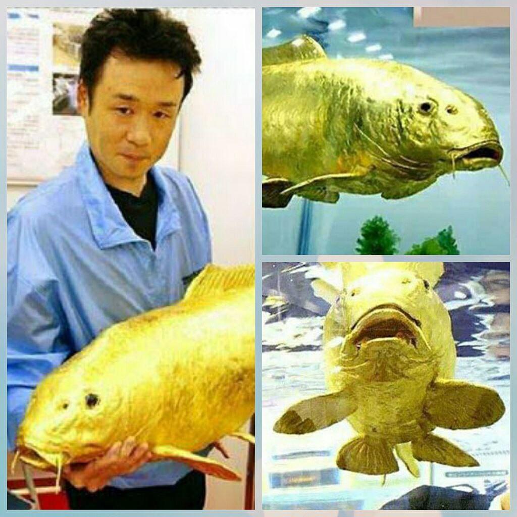 کشف ماهی شگفت انگیز برنگ طلائی با عیار ۲۴ +عکس