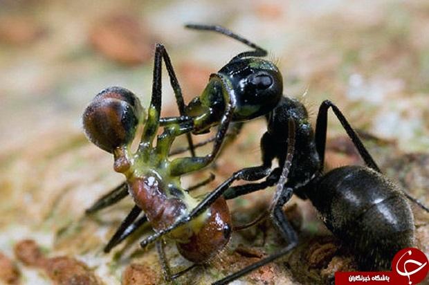 مورچه داعشی کشف شد +تصاویر