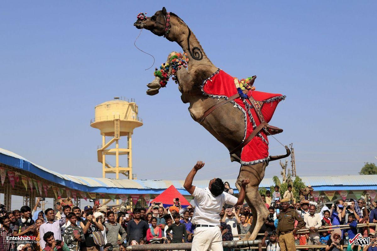 رم کردن یک شتر در فستیوال هندی+عکس