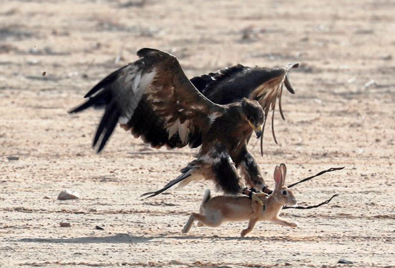 لحظه شکار خرگوش توسط شاهین +عکس