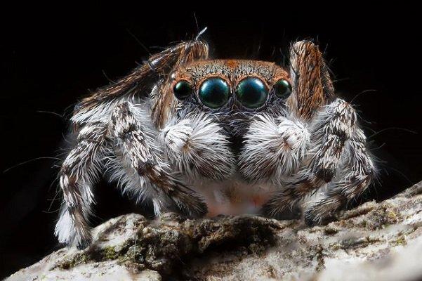 شناسایی عنکبوتی که به نوزادش شیر میدهد +عکس