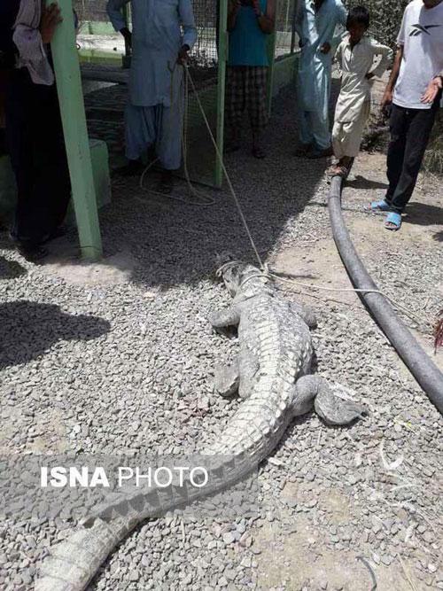 زندهگیری تمساح سرگردان در چابهار +عکس
