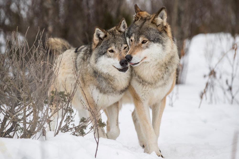 دنیای حیرتانگیز گرگ ها؛ نتیجه ۲۵ سال تحقیق یک جانور شناس از زندگی شکارچیان دوستداشتنی [قسمت اول]