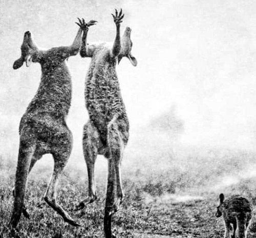 بارانِ استرالیا و تصویری کمنظیر از شادیِ کانگوروها