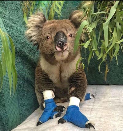تصاویری کمنظیر از درمان کوالاهای استرالیایی