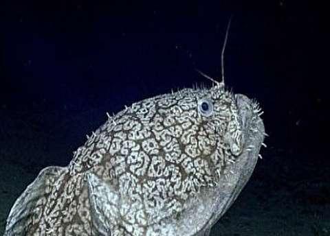 ماهی نادر 1.5متری که در اقیانوس راه میرود
