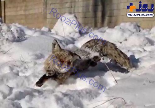 انجماد یک روباه در ترکیه به دلیل سرمای سیبری+عکس