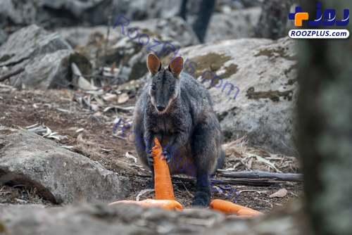 هویج خوردن کانگورویی که از جهنم استرالیا جان به در برده +عکس