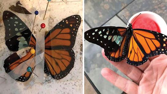 زنی که هنرش ترمیم بال پروانههاست+عکس