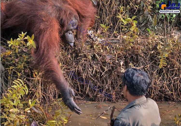 کمک جالب یک اورانگوتان به محیطبان+عکس