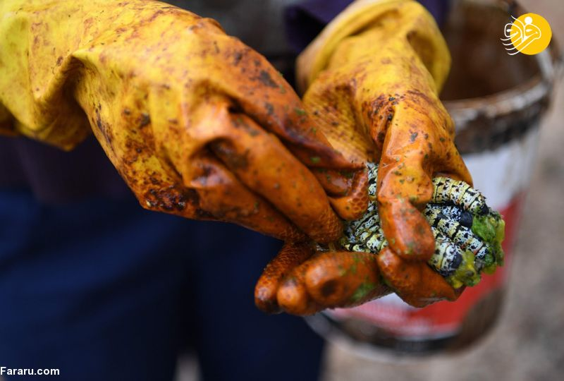 کرمهای موپان؛ غذای ارزشمند مردم بوتسوانا
