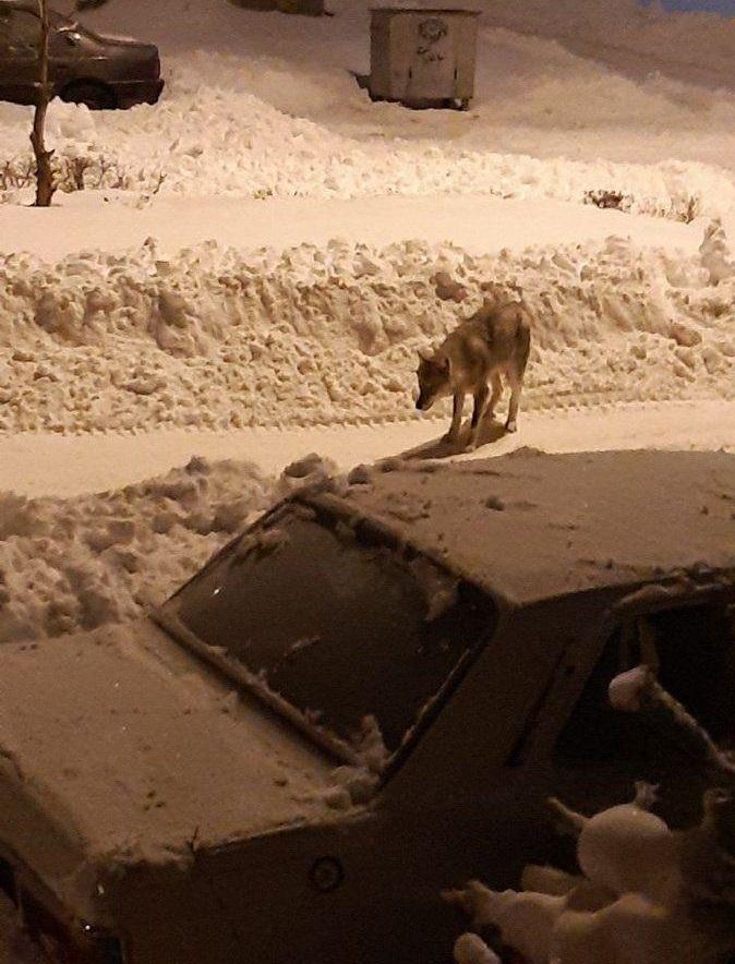 پرسه زدن گرگ های گرسنه در خیابان های خلخال + عکس