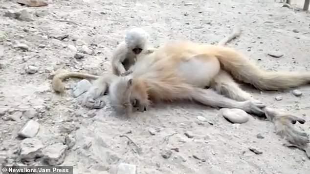 گریه بچه میمون بالا سر جنازه مادرش +تصاویر و فیلم