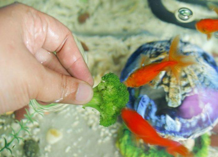 ماهی قرمز شب عید ناقل ویروس کروناست؟