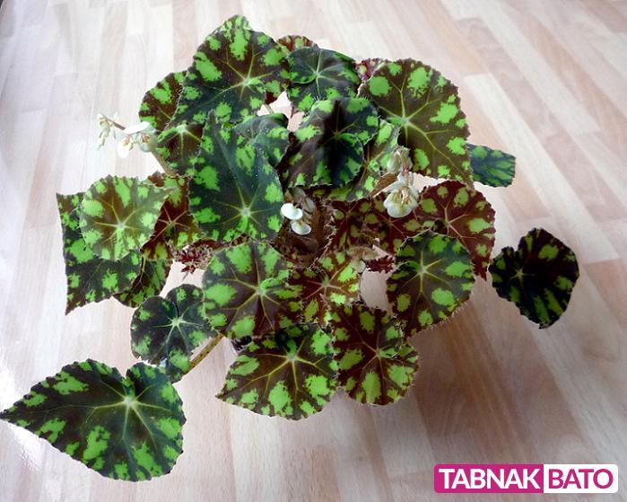 آشنایی با نیازها و درمان بیماری در گیاه بگونیا هلندی