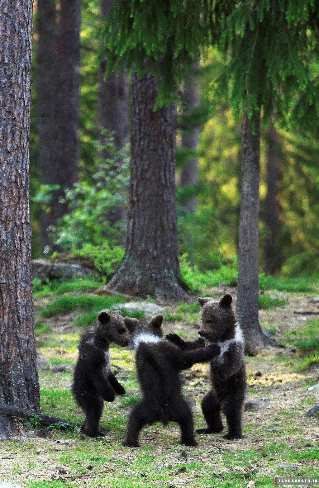 عکسهای جالب از بازیگوشی بچه خرسها