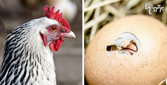 اول مرغ بود یا تخم مرغ؟دانشمندان بالاخره جواب را پیدا کردند