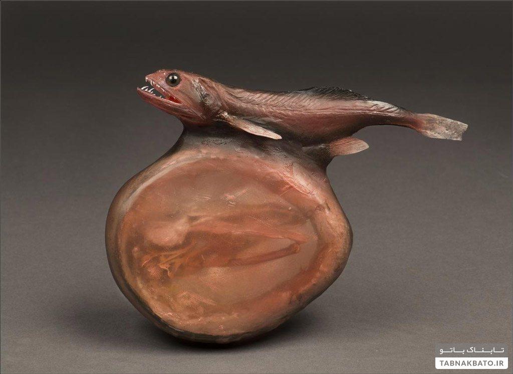 ماهی شگفتانگیز که طعمههای چندبرابر خود را میبلعد!